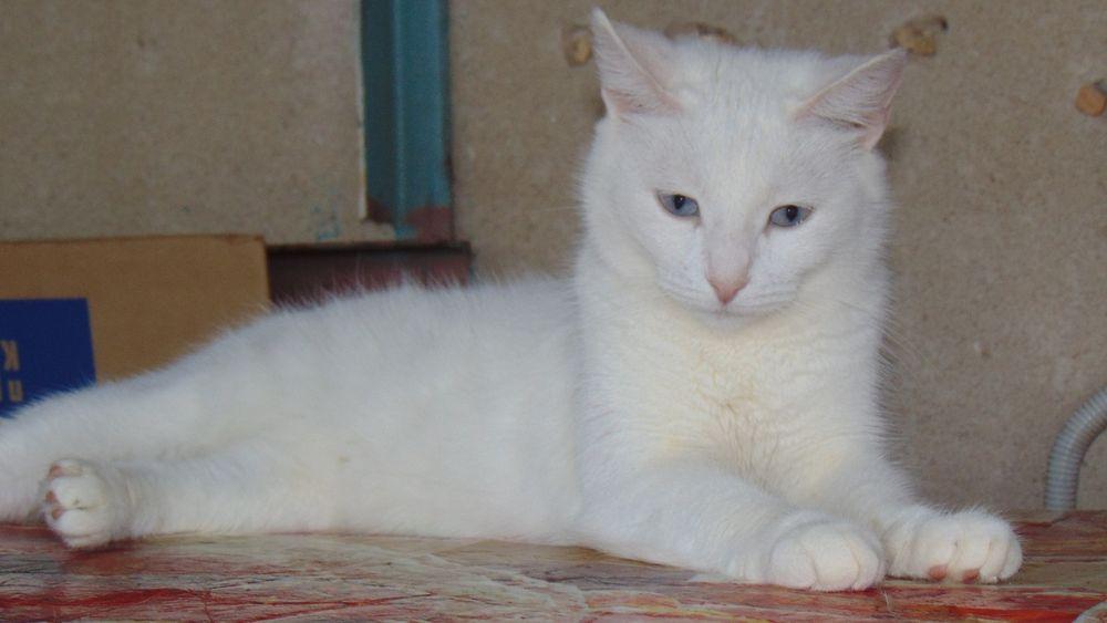 Как называется порода глухих кошек