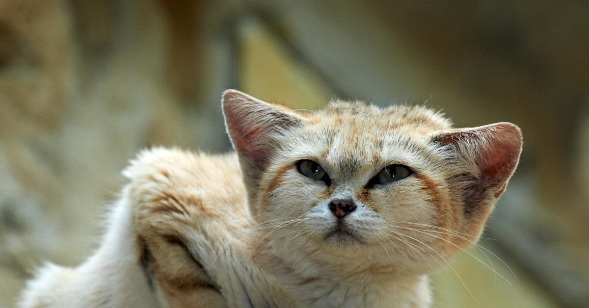 Песчаный кот (барханная песчаная кошка). ареал обитания, интересные факты :: syl.ru