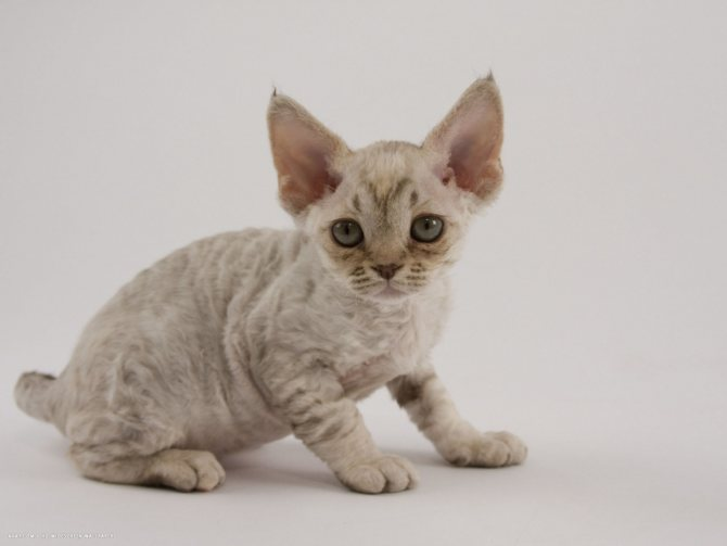 Гипоаллергенные породы кошек: топ 8 лучших пород для людей с аллергией - мир кошек