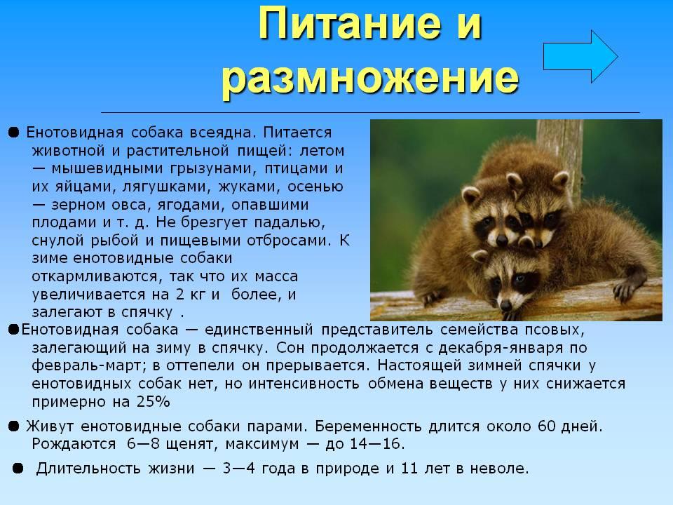 Собака енотовидная описание и фото, её отличие от енота