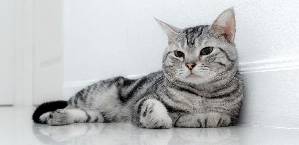 Американская короткошерстная кошка – с любовью из сша