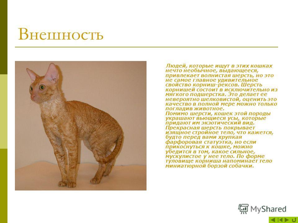 Корниш рекс: описание породы кошек, характер, окрасы, чем кормить, уход и содержание, фото
