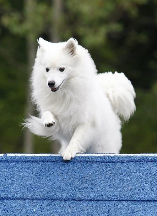 Американский эскимосский шпиц (41 фото): стандарт породы взрослых карликовых собак, их выращивание