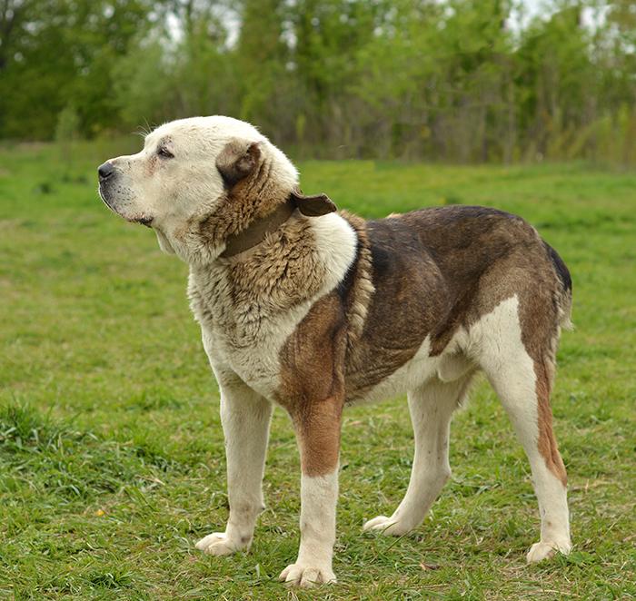 Алабай (среднеазиатская овчарка, САО)