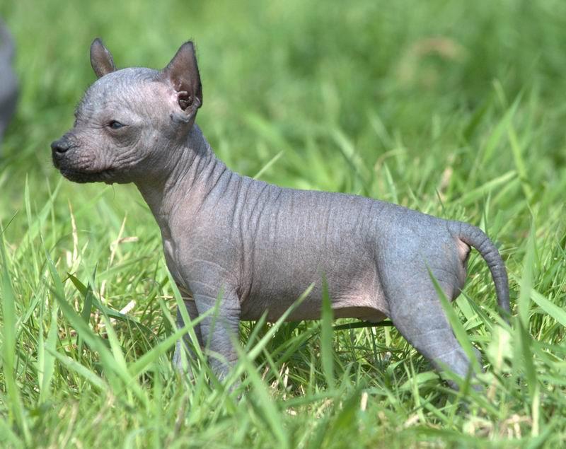 Порода собак египетский ксолоитцкуинтли