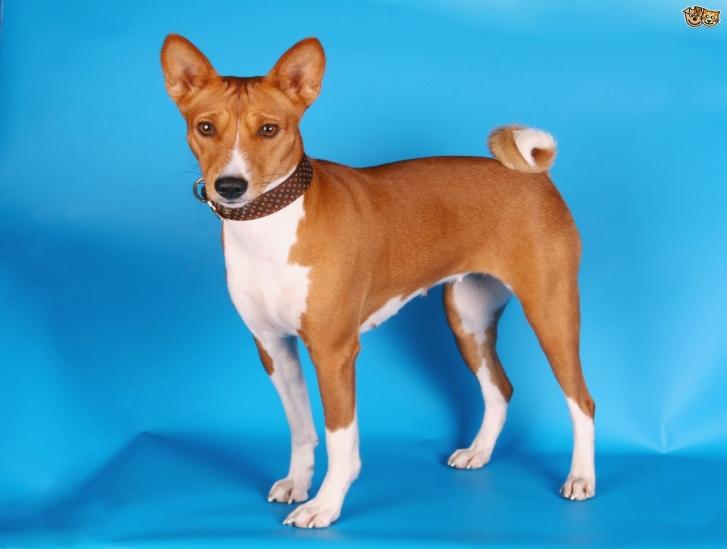 Нелиняющие породы собак: обзор и особенности ухода