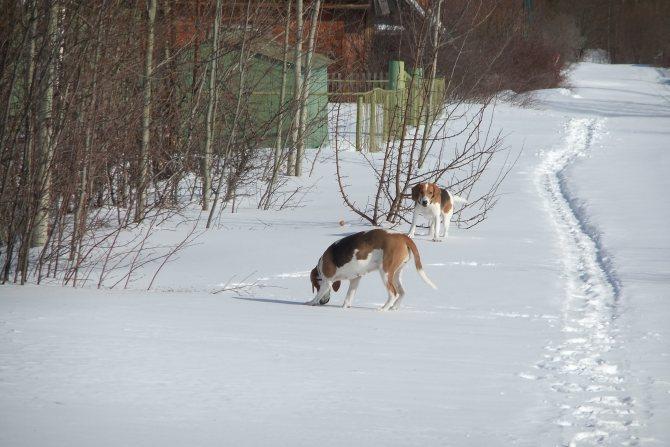 Что такое нагонка гончей, как она происходит и как подготовить собаку к охоте