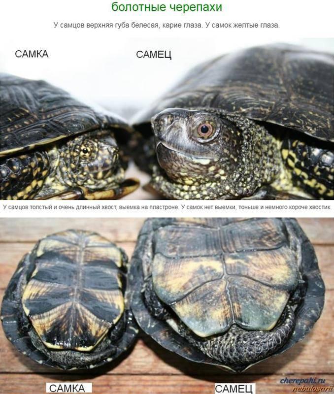 Красноухие черепахи — как определить возраст и пол?