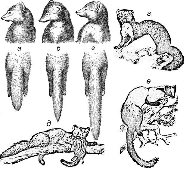 Куница животное. описание, особенности, виды, образ жизни и среда обитания куницы   живность.ру
