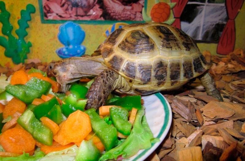 Чем кормить сухопутную черепаху в домашних условиях