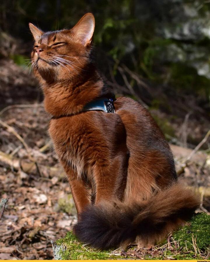 Сомалийская кошка: порода с самым ласковым характером
