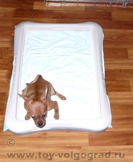 Как приучить щенка к пеленке: основные правила обучения