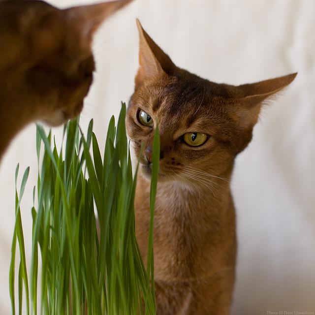 Почему кошки едят траву: 5 возможных причин, выращивание травы дома, полезные и вредные растения