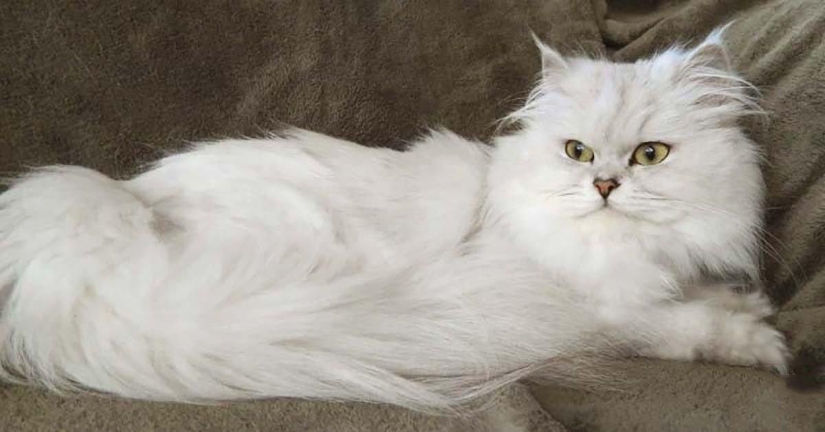 Порода кошек австралийская тиффани