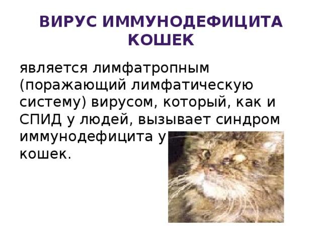 """Инфекционный перитонит у кошек  fip , вирусный перитонит, симптомы и лечение в москве. ветеринарная клиника """"зоостатус"""""""