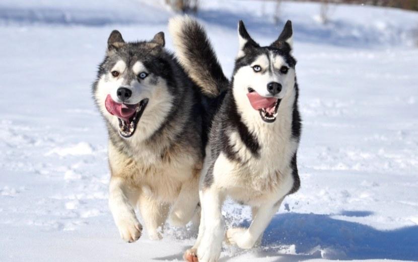 Ездовые собаки: разновидности северных пород собак для упряжки, эскимосская лайка