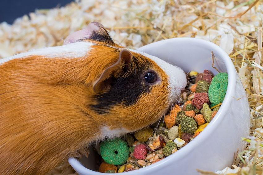 Что ест морская свинка: кормление питомца в домашних условиях