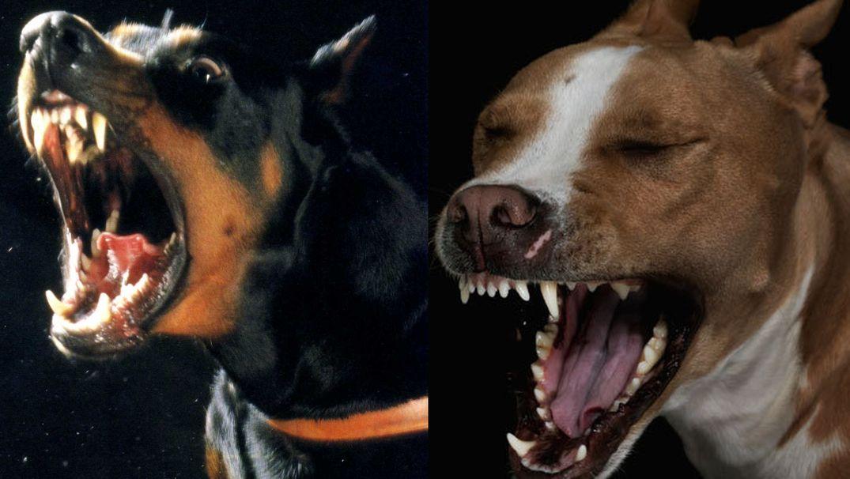 У какой породы собак самые сильные челюсти?