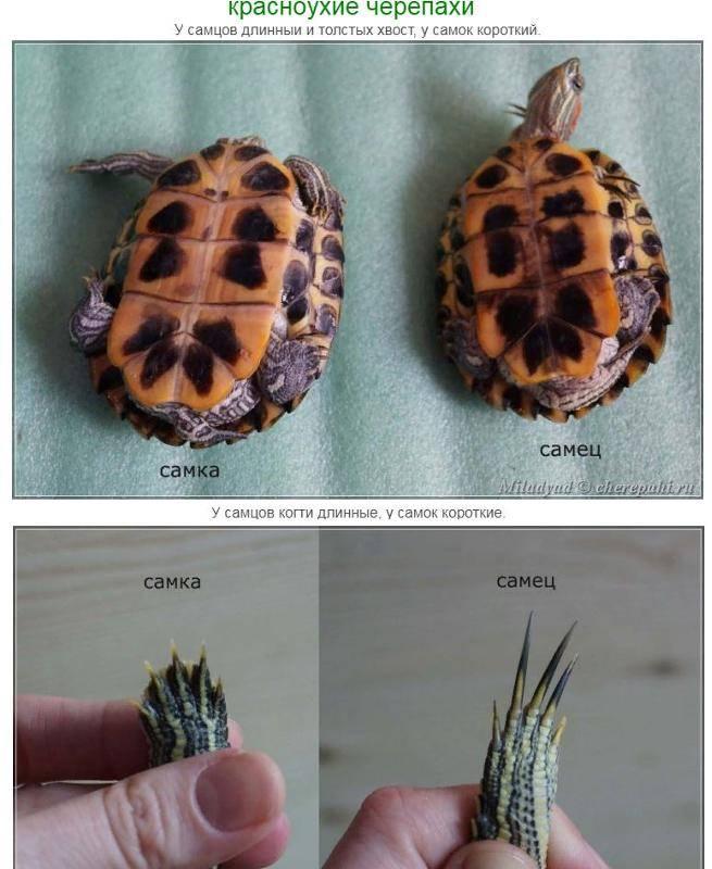 Красноухая черепаха: виды с фото и названиями, интересные факты, ареал, повадки