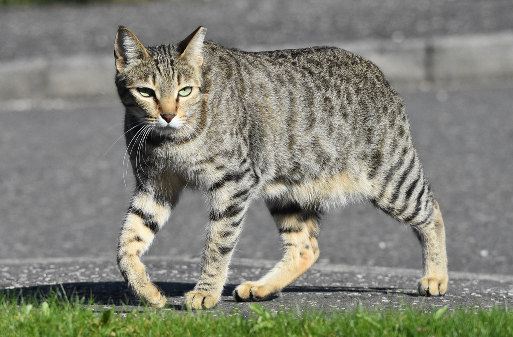 Аравийский мау: история породы, уход за породистыми котами