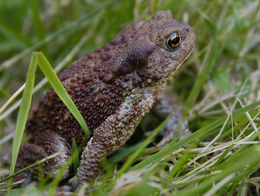 Камышовая жаба: как выглядит, где обитаем, чем питается и интересные факты (фото)