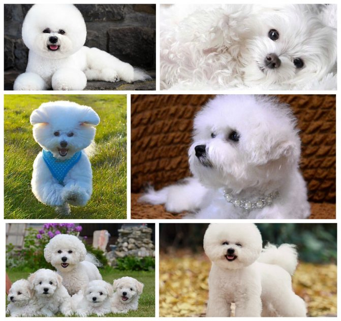 Гипоаллергенные породы собак - список и фото собак для людей с аллергией