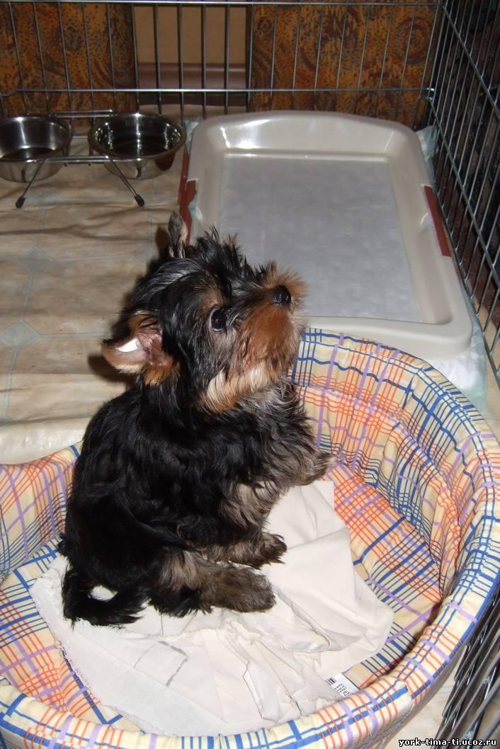 Как и чем кормить щенка йоркширского терьера: тип, режим и нормы кормления в 1, 2, 3, 4 или 6 месяцев