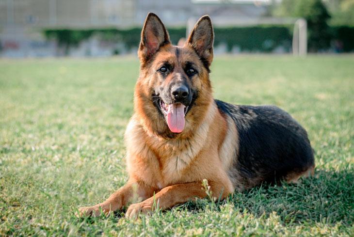 Охранные породы собак: лучшие для частного дома