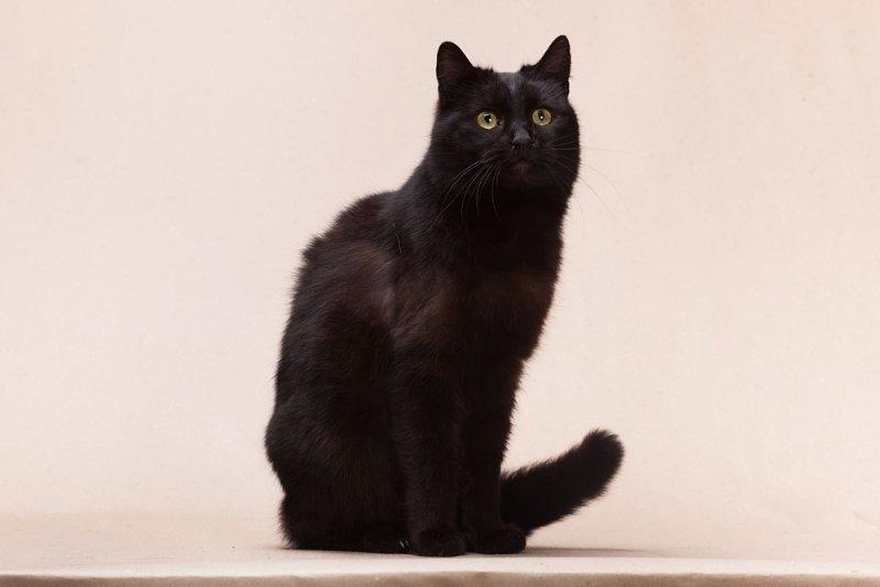 Йоркский шоколадный кот: описание породы
