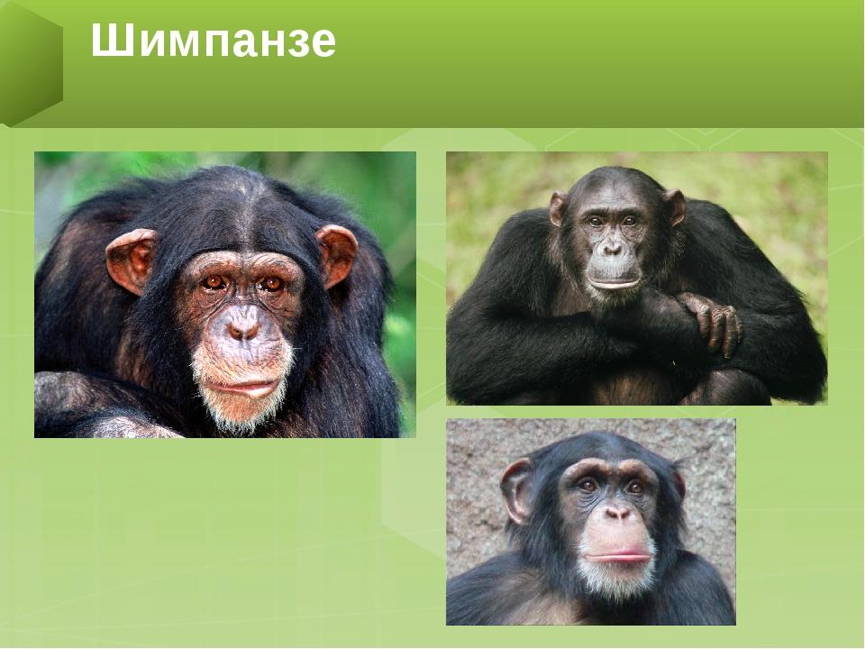Обезьяны: описание, виды с фото, чем питаются, размножение, враги