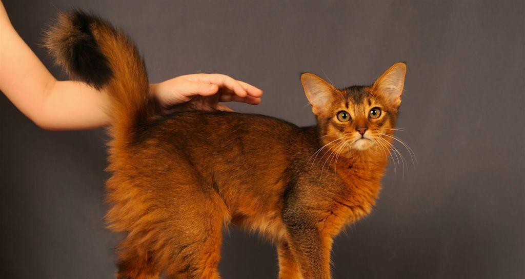 Кошка сомали: описание породы, особенности характера и отзывы