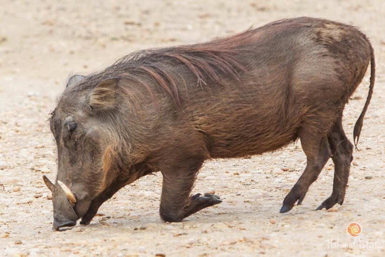 Интересные факты о бородавочнике, дикой африканской свинье – клуб любителей хрюш