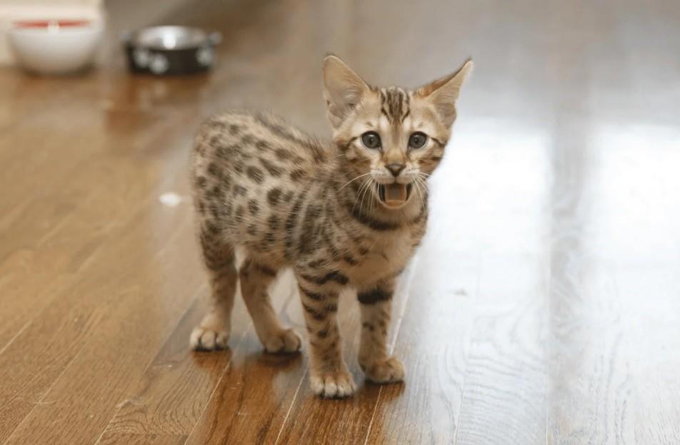 Порода кошек ашера: описание, фото и содержание