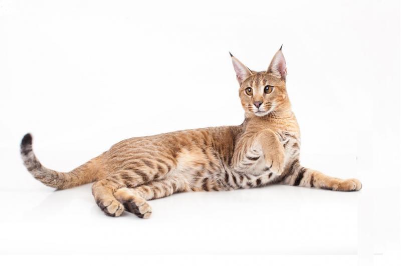 Кошка похожая на рысь