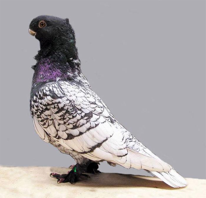 Породы голубей с фотографиями и названиями, особенности