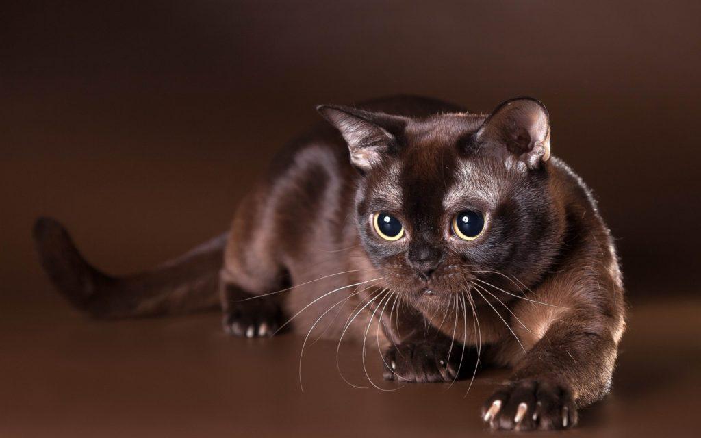 Бурманская кошка – шелковая красотка с необыкновенными глазами