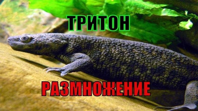 Уход и содержание тритонов в аквариуме
