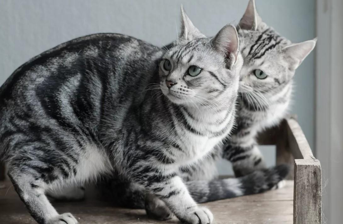 Американская короткошерстная кошка: фото, описание породы, характер, содержание, цена котенка, характер, особенности породы