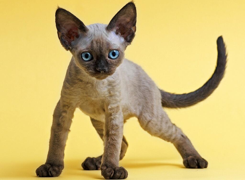 Самые гипоаллергенные породы кошек