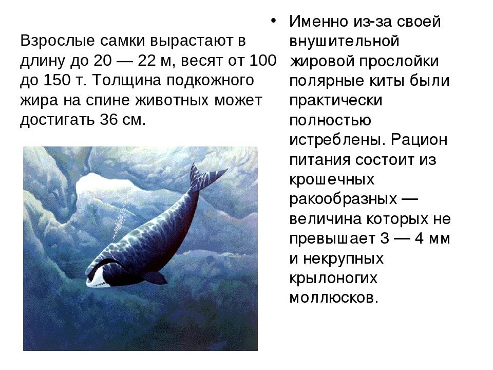 Гренландский кит – фото, описание, ареал, рацион, враги, популяция