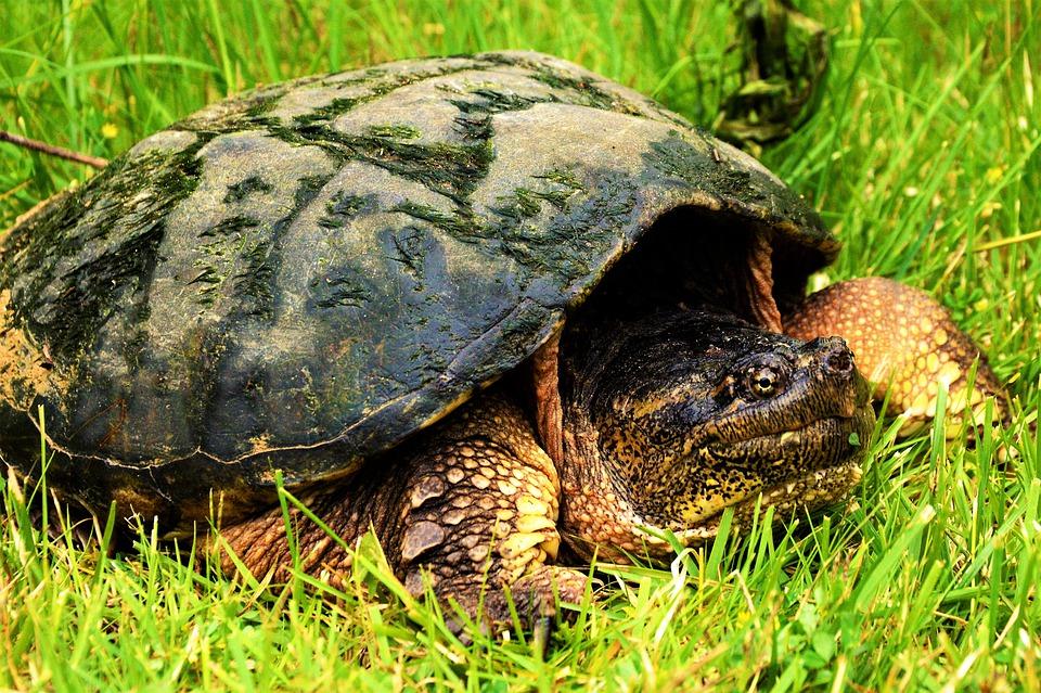 Особенности содержания каймановых черепах в домашних условиях