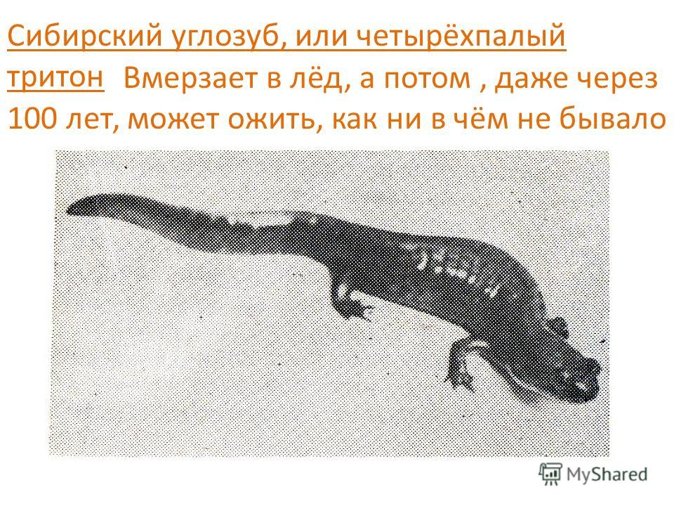 Сибирский углозуб интересные факты