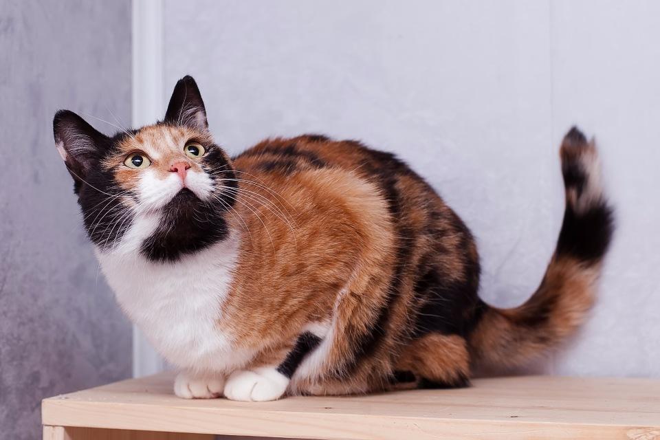 Трехцветная кошка в доме – приметы и суеверия
