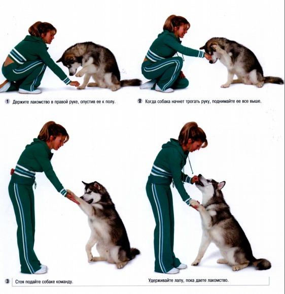 Как научить собаку основным командам - wikihow
