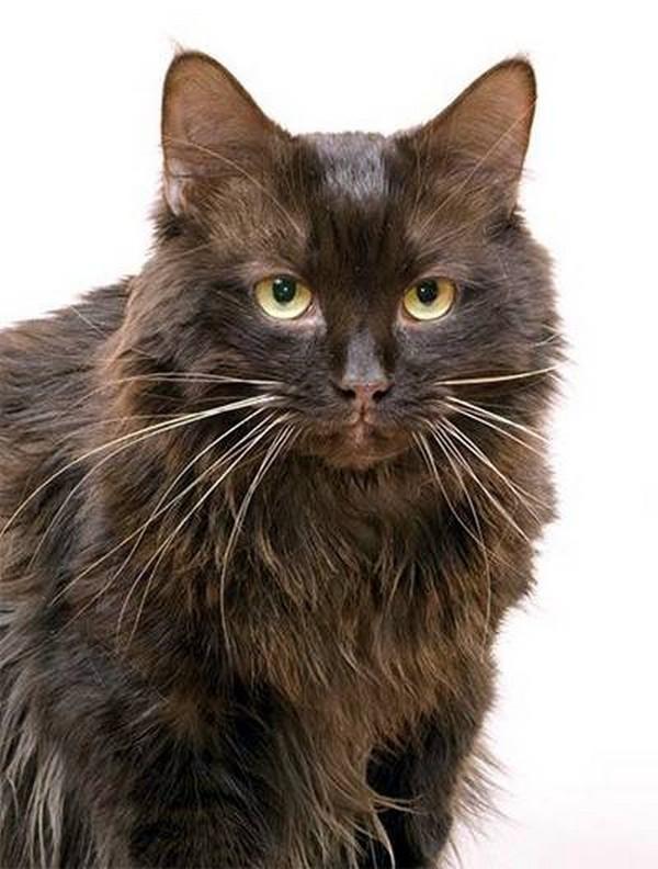 Йоркская шоколадная кошка: описание внешнего вида, характер и поведение, уход и кормление, фото породы, отзывы владельцев