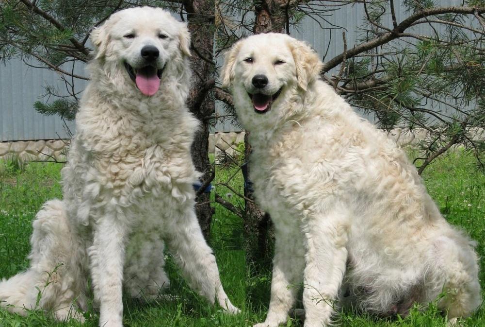 Кувас (венгерский кувас): описание породы собак с фото и видео