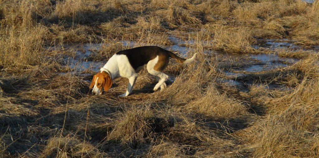 Нагонка гончей: как подготовить собаку к охоте