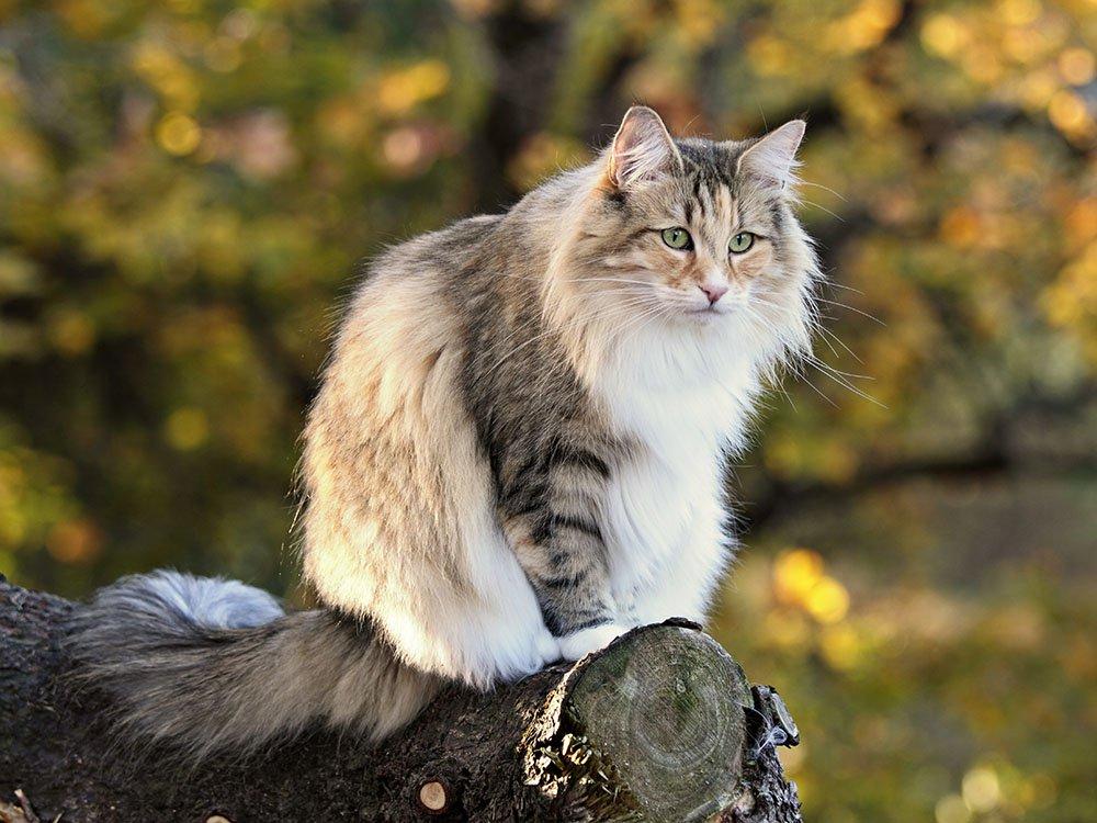 Норвежская лесная кошка: все о породе, фото, характер, повадки, внешний вид, рекомендации по сочетанию