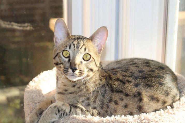 Кошка ашера: особенности породы и фото кота, содержание питомца и уход за ним
