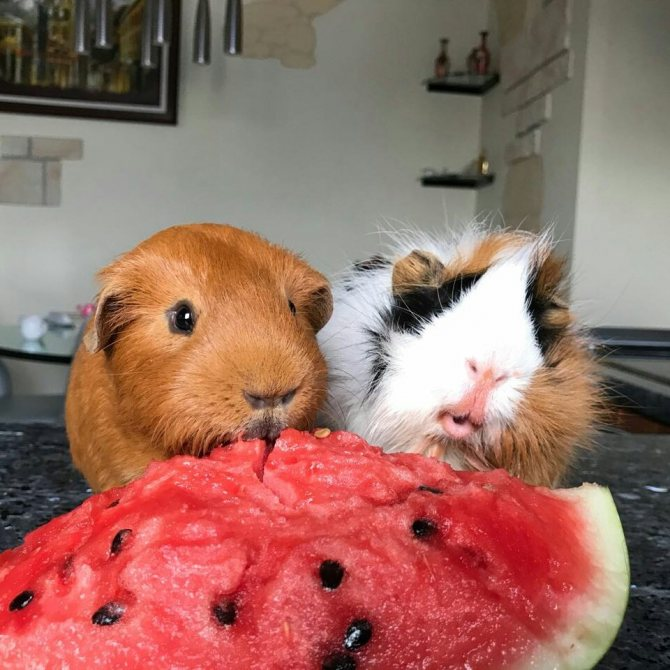 ᐉ можно ли морским свинкам абрикосы, персики и нектарин? - zoopalitra-spb.ru